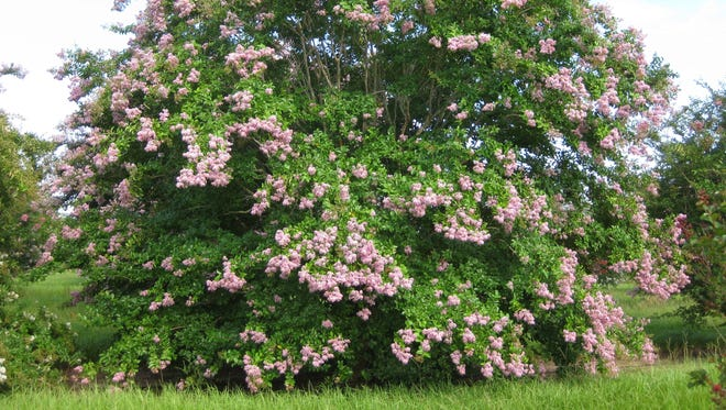 With proper  placement, crape myrtle develops into a beautifully shaped tree that rarely needs pruning.