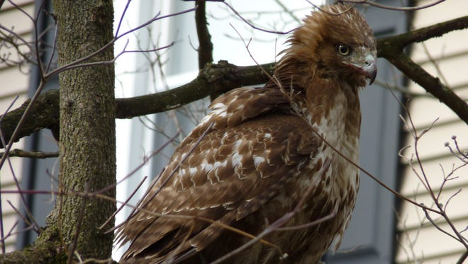 A young red-tailed hawk spotted in Somerville.