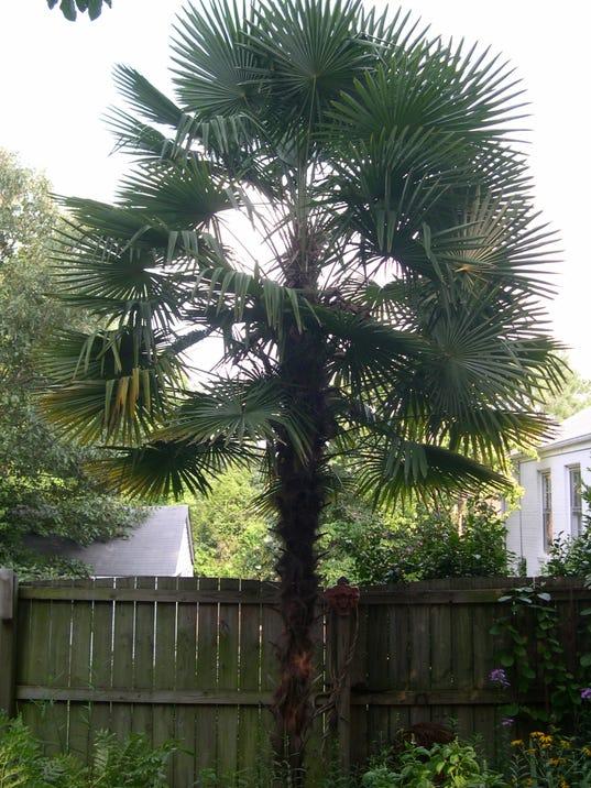 112 Trachycarpus_fortunei.jpg