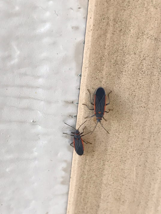 636386903278871719 image1 JPG. Small bugs that have dotted Palm Springs in recent weeks spotted