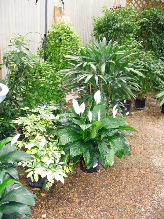 Tips For Bringing Your Houseplants additionally Courtyard Design And Landscaping Ideas also Interior Design Plants furthermore Bringing Tender Plants Inside For Winter besides Indoor Herbs. on outside bringing plants inside winter