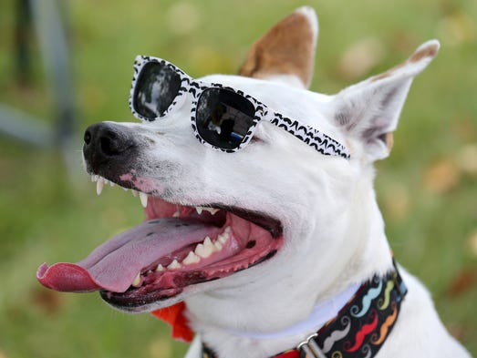 Wilbur wears a pair of sunglasses while keeping cool in the shade during Dog Day Afternoon featuring Woofstock at Nickel Plate District Amphitheater, on Saturday, August 23, 2014, in Fishers.
