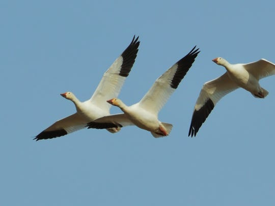 Snow geese find Middle Creek a good place to stop over.
