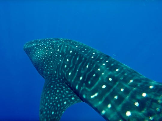 A whale shark is pictured off Jupiter coastline that