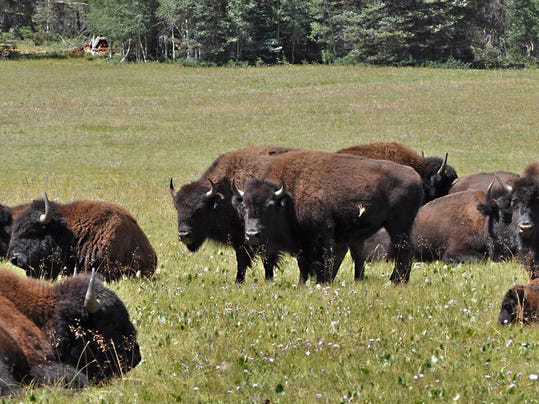 PNI Grandcanyon bison