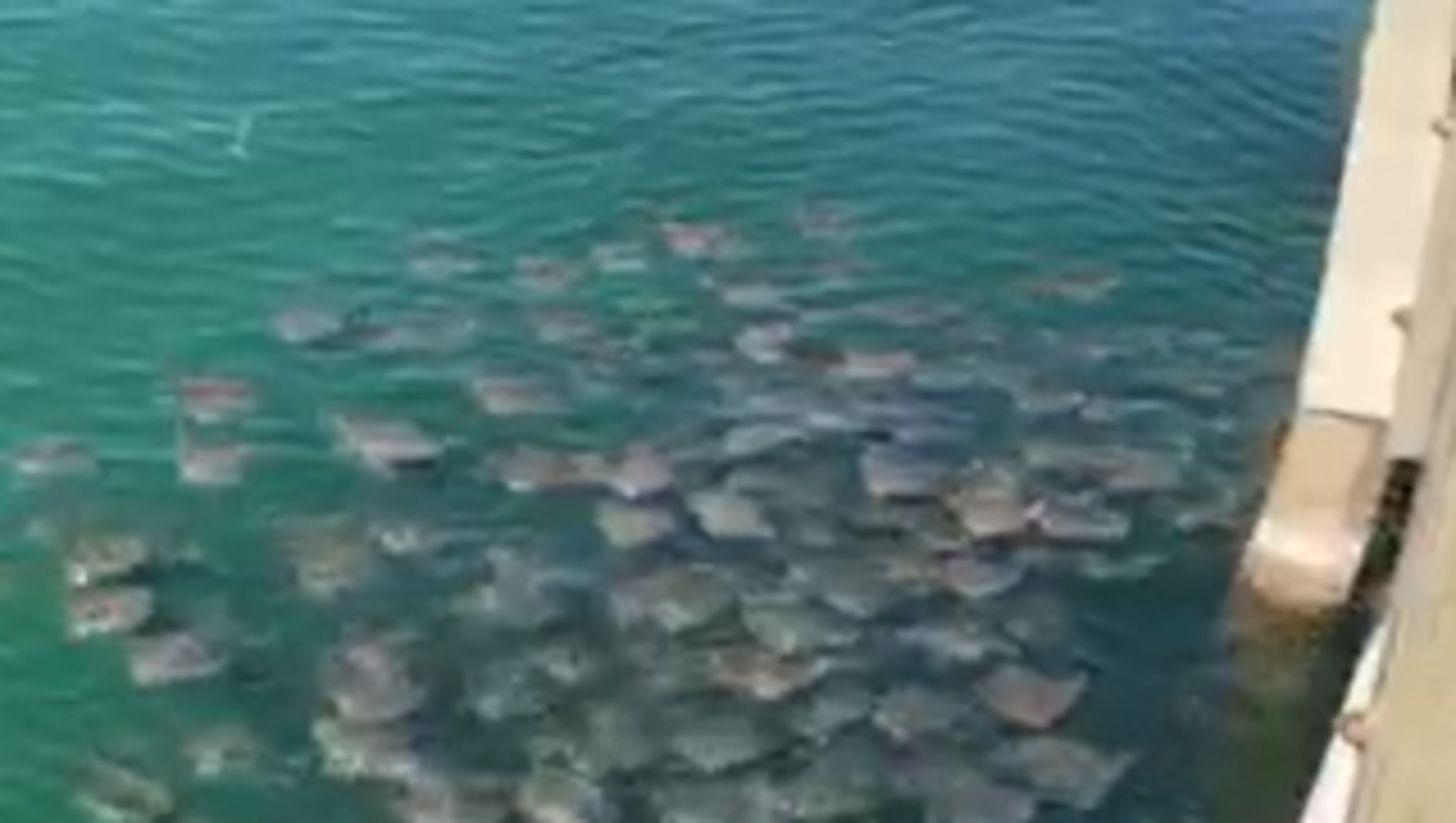 Why Zillions Of Stingrays Are Gathering Off Pensacola Beach