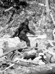 A still image taken from 1967 footage shot by Roger Patterson while searching for Bigfoot. The legendary Pacific Northwest creature is believed to be a relative of Florida's Skunk Ape.
