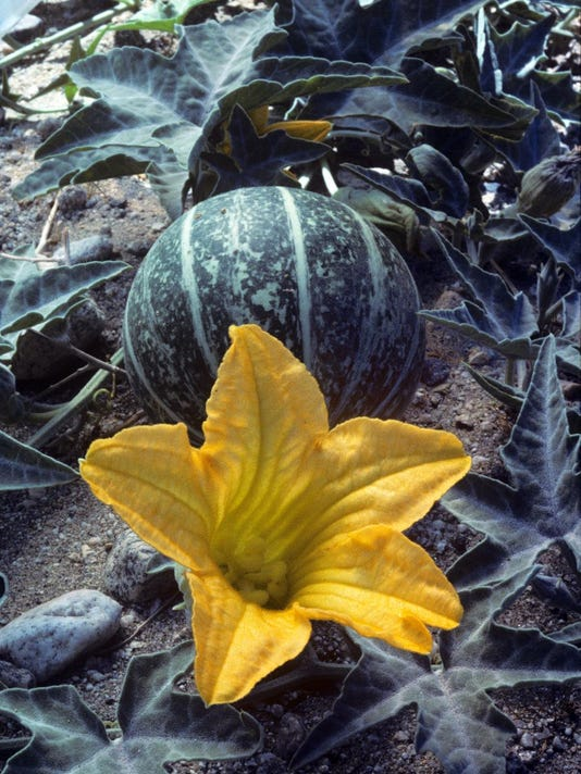 Coyote Melon and Flower