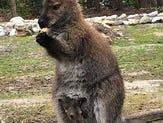 Wandering wallaby, Rocko, was spotted in a Felton back yard