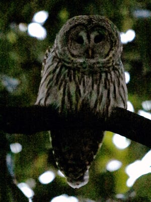 An owl perched on a branch of a magnolia tree near the State Lands building on December 28, 2015. In recent weeks, several Salem residents have reported being attacked by an owl.