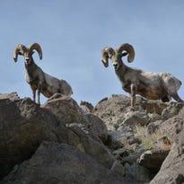 Bighorn Sheep at SilverRock