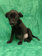 Katia is a 10-week-old terrier mix who will weigh about