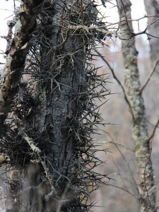 A wicked tangle of 2-inch thorns protects the trunk of this honeylocust tree at Bennett Spring State Park. Some theorize
