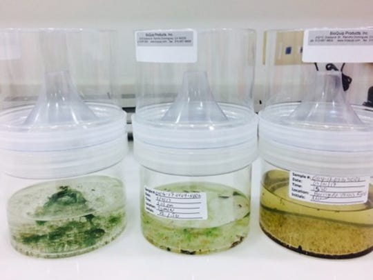Mosquito larvae in rearing chambers