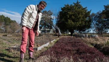 Henriette den Ouden inspects a patch of cranberries at Habanera Farm in Tyaskin on Friday, Jan. 27, 2017.