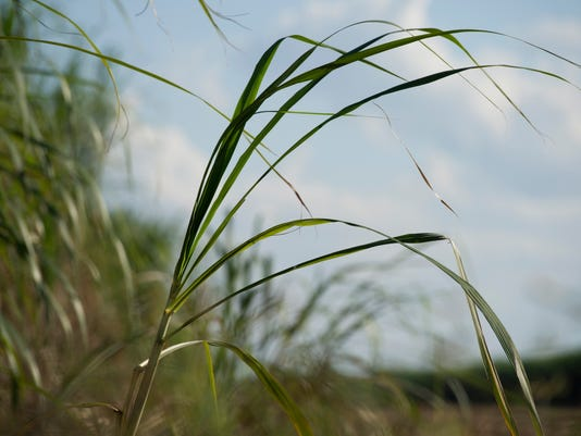 1017-2013-Sugar Cane
