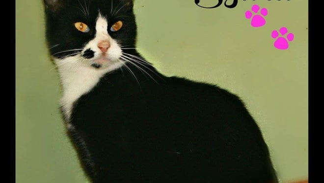 """Ms. Sylvia is a beautiful """"tuxedo"""" cat, looking to find a place of her own. She's a small girl, only about 1 year old. It's getting colder outside. Don't you need a cat to keep the mice out? Call Mary Hall Ruddiman Shelter and ask about her and her other mousing friends."""