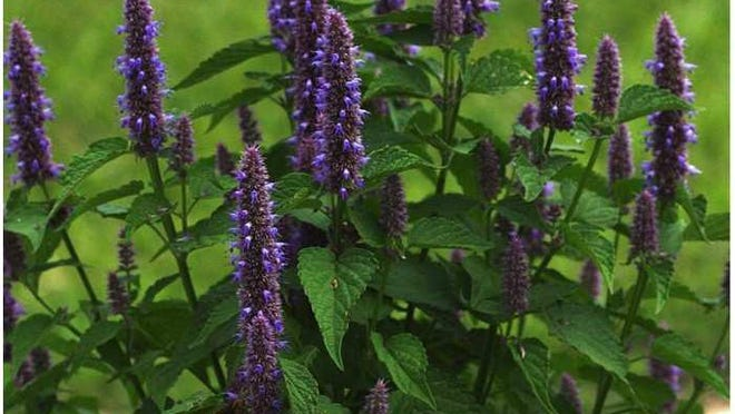 An example of Blue Giant Hyssop (Agastache foeniculum) for sale during the Brodhead Watershed Association's annual native plant sale. The sale features plants that are native to the Pocono Mountains.