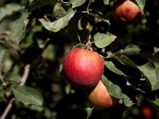Oregon apple picking