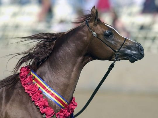 There is no mistaking the signature look of an Arabian.