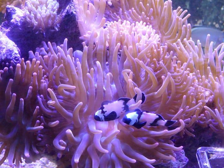 A pair of designer Black Phantom clownfish swim through