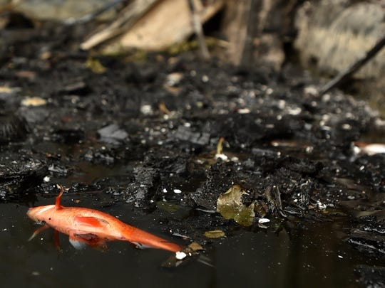 A dead fish is seen in a pond at the popular nudist