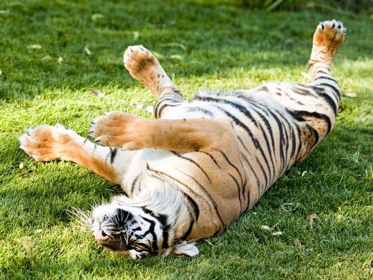 A Sumatran tiger rolls around in its enclosure at the