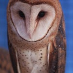 The barn owl is among nearly 300 animals on Mississippi's recently updated list of species of concern.