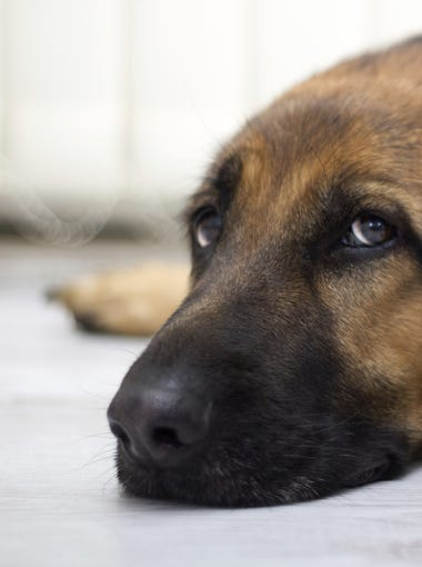 """The Phoenix area is home to dozens of animal shelters, and thousands of pets are waiting for their forever home. Each week we'll feature different dogs and cats that are available for adoption across the Valley. There are thousands of pets in the Valley looking and waiting for their """"furever"""" home. Find yours today."""
