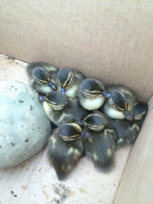 mto school forum ducks