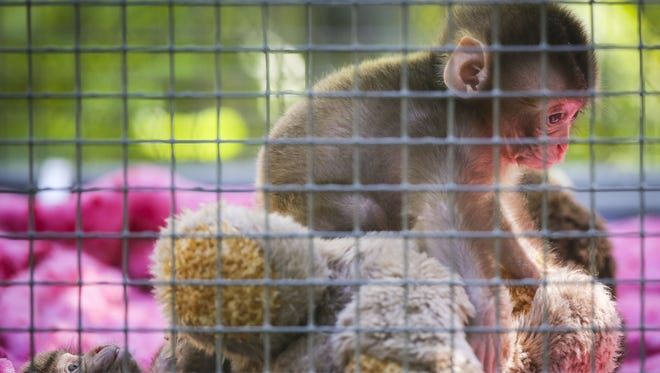 A Japanese macaque plays in an enclosure Wednesday, June 25, 2014, at the Blank Park Zoo in Des Moines.