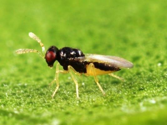 0704-YNSL-greening-wasp.jpg