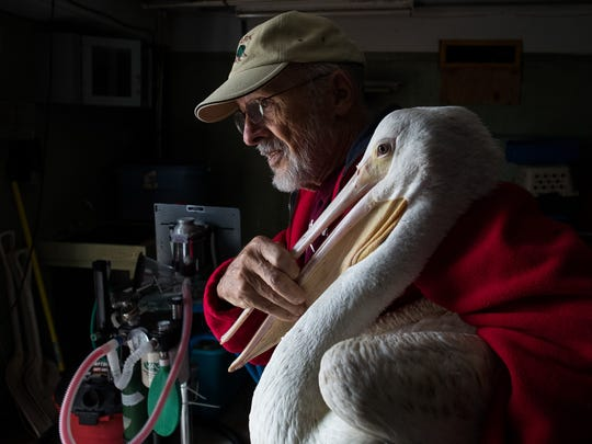 Volunteer Tom Christianson caries a white Pelican to