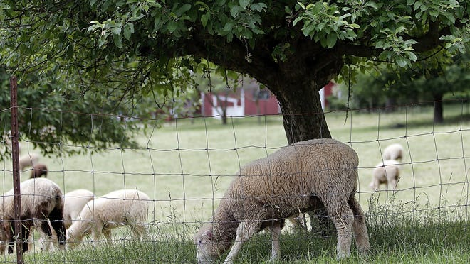 A sheep grazes in the shade of a tree on Monday in a field on Ashland County Road 1475.