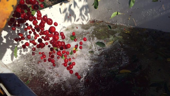 Tart cherries fall into a steel tank on the shaker. The tanks are filled with cold water to keep the fruit fresh.