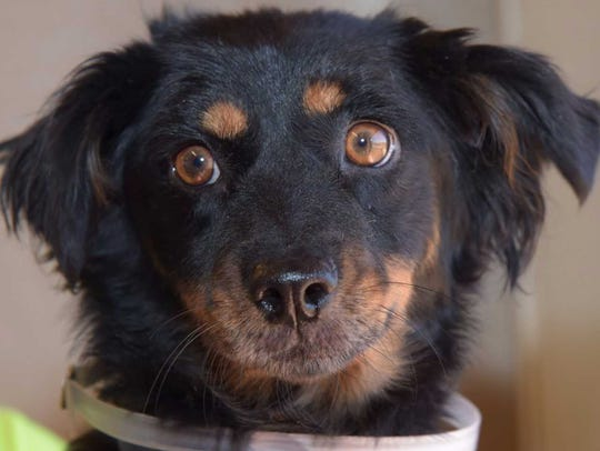 Gidget - Female (spayed) collie mix, about 3.5 years