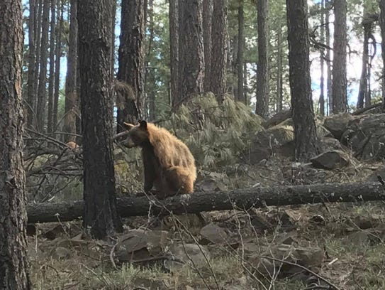 The bear that swiped at an elk calf in a viral video