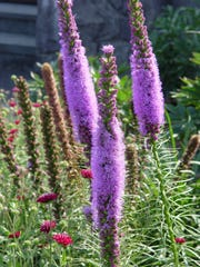 Some of our most stunning garden perennials like Liatris