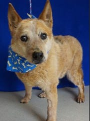 Roadie is 10 years, 2 months old. He's available at the Rochester hills Center for Animal Care.