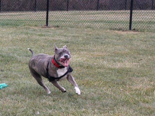 A dog runs through the new Livonia dog park Monday