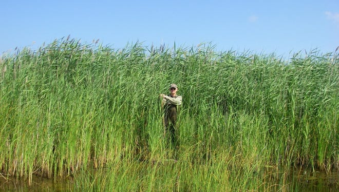 Invasive species phragmites overtakes a Michigan wetland and crowds out native plant growth.