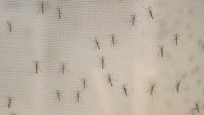 Male mosquitoes.
