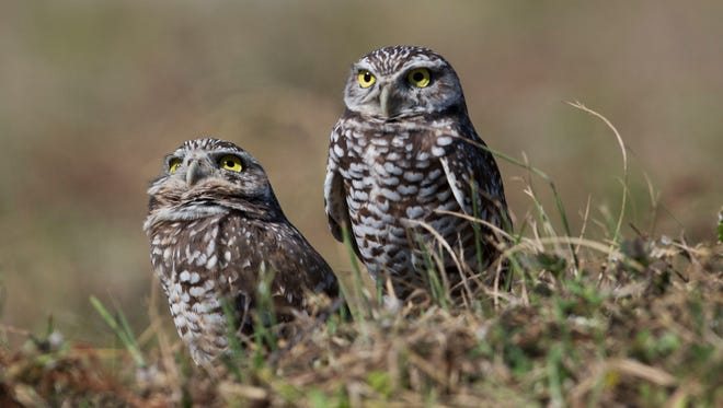 Learn all about burrowing owls during Saturday's festival at Rotary Park Environmental Center.