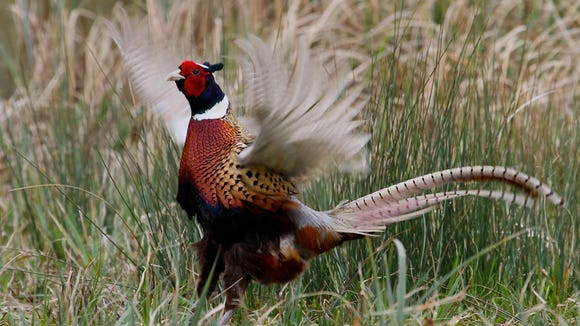 I'll be afield Saturday morning for opening day of pheasant hunting season.