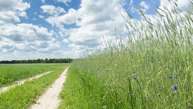 Sky above dirt road in cereal rye field and cornflowers
