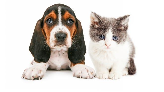 Adorable basset hound puppy and kitten