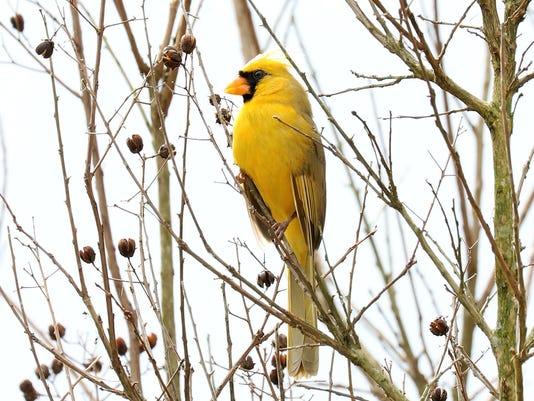 yellow cardinal rare bird spotted in alabama