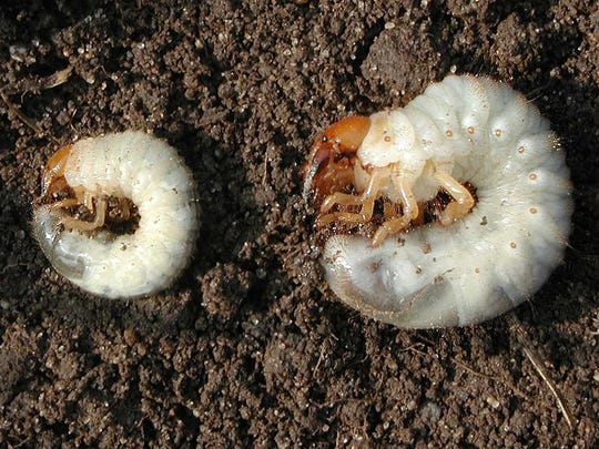 White grubs look alike. The species, from left to right, Japanese beetle, European chafer and June bug grubs.