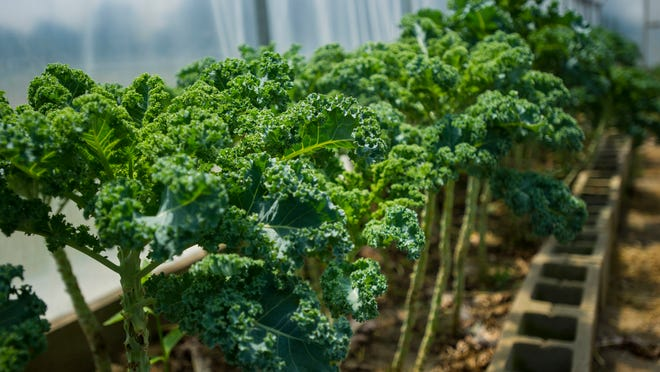 Kale is grown in a high tunnel structure at Gotreaux Family Farms in Scott. The Gotreauxs are working to open Acadiana's first local food hub.