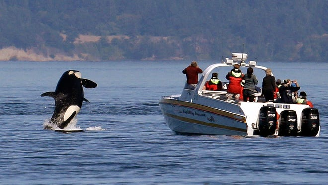 FILE -- In this photo taken July 31, 2015, an orca whale leaps out of the water near a whale watching boat in the Salish Sea in the San Juan Islands, Wash. The federal government is considering a petition that calls for a whale protection zone on the west side of Washington's San Juan Island. Three groups have asked NOAA Fisheries to establish an area that would restrict most motorized vessels in order to protect endangered southern resident killer whales from noise and other disturbances.